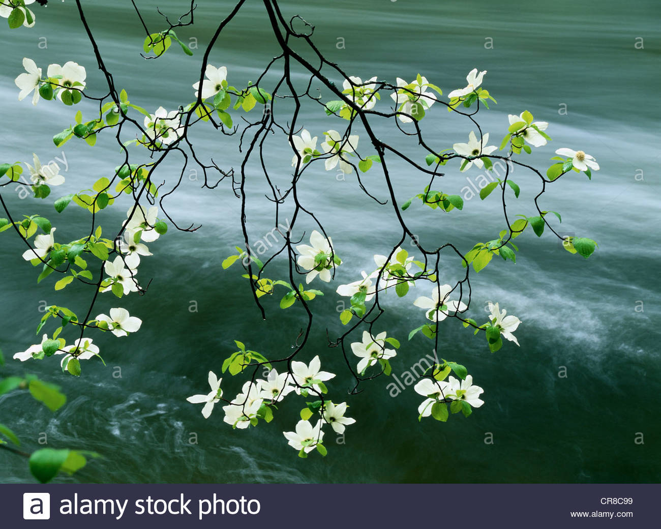 A branch of a dogwood in bloom hangs over the Merced River in Yosemite National Park, California. - Stock Image