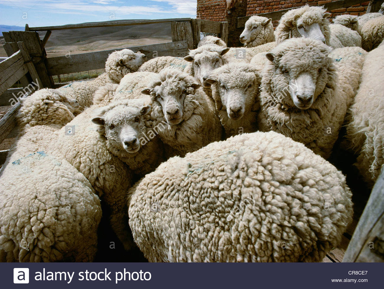 Sheep in holding pens for shearing, Patagonia, Argentina Stock Photo