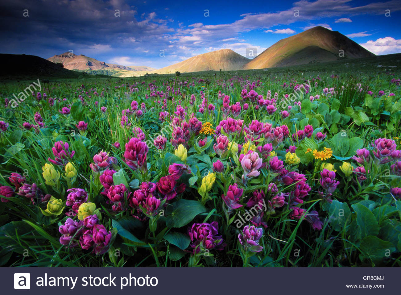 Flowers and mountains in afternoon light, Colorado. Tilt-shift - Stock Image