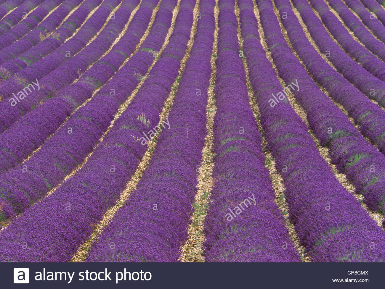 Lavender fields, Sault region, Provence, France - Stock Image