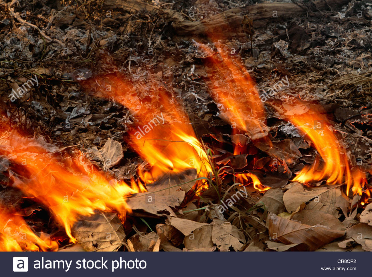 Controlled fire for wildfire prevention, Kanha National Park, India - Stock Image