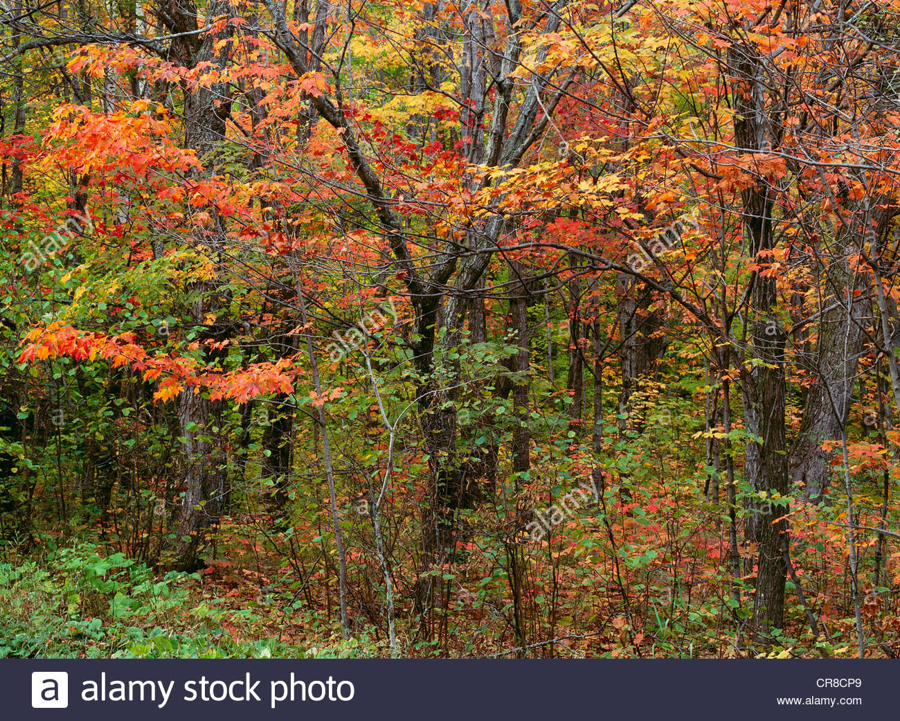 Autumn colors in the Superior National Forest, Minnesota - Stock Image