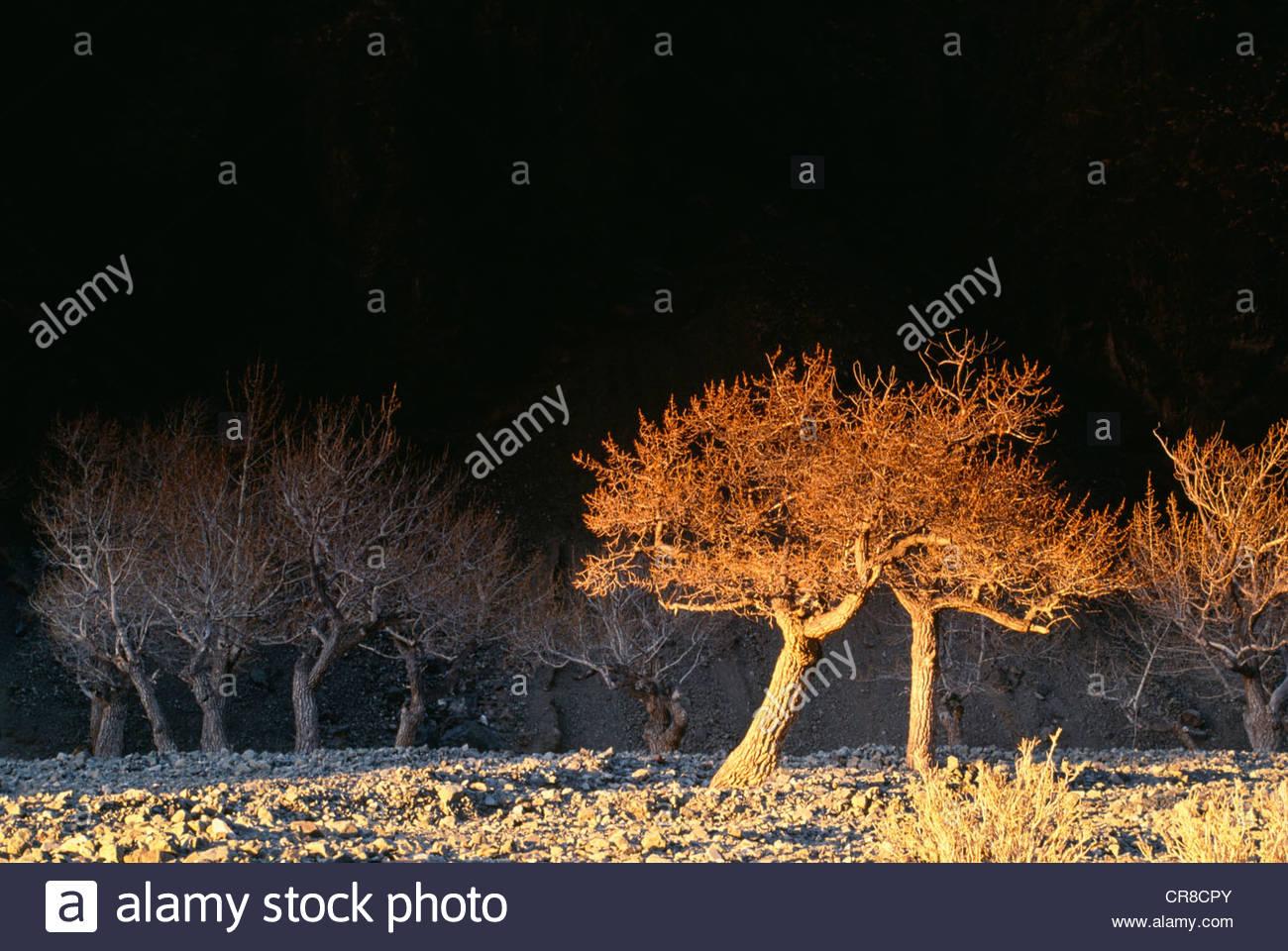 Cottonwood grove, Altai Mountains, Mongolia - Stock Image