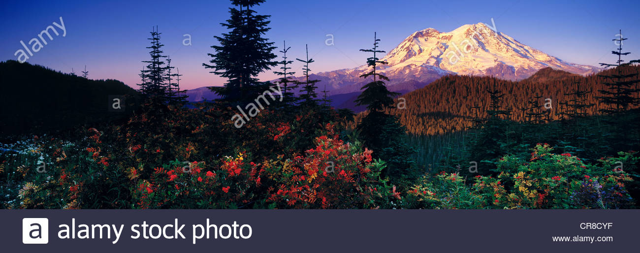 The peak of Mt. Rainier as seen from the west, with vivid mountain ash in the foreground - Stock Image
