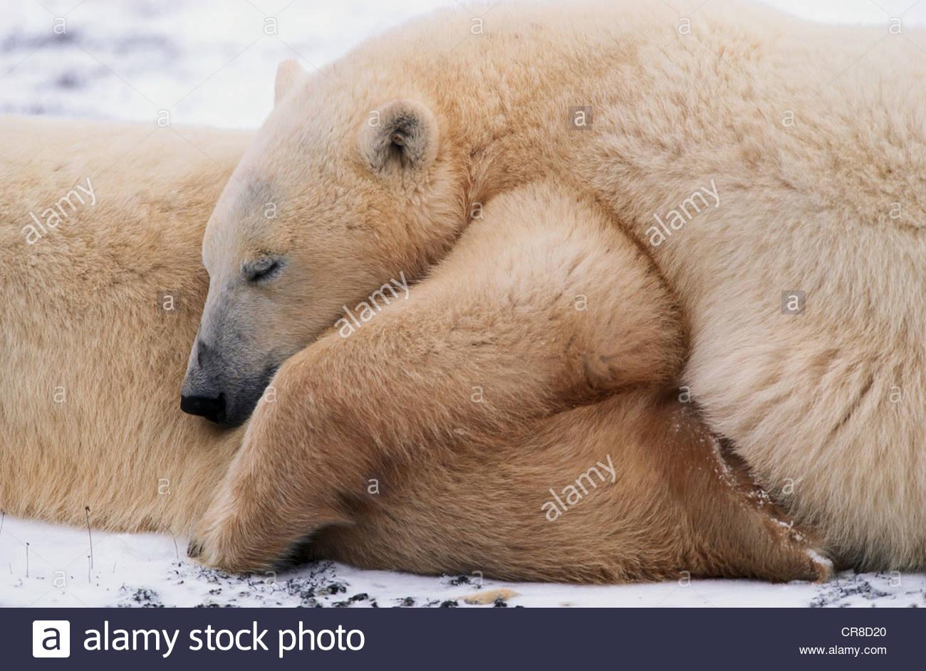 Two Polar bears sleeping. - Stock Image