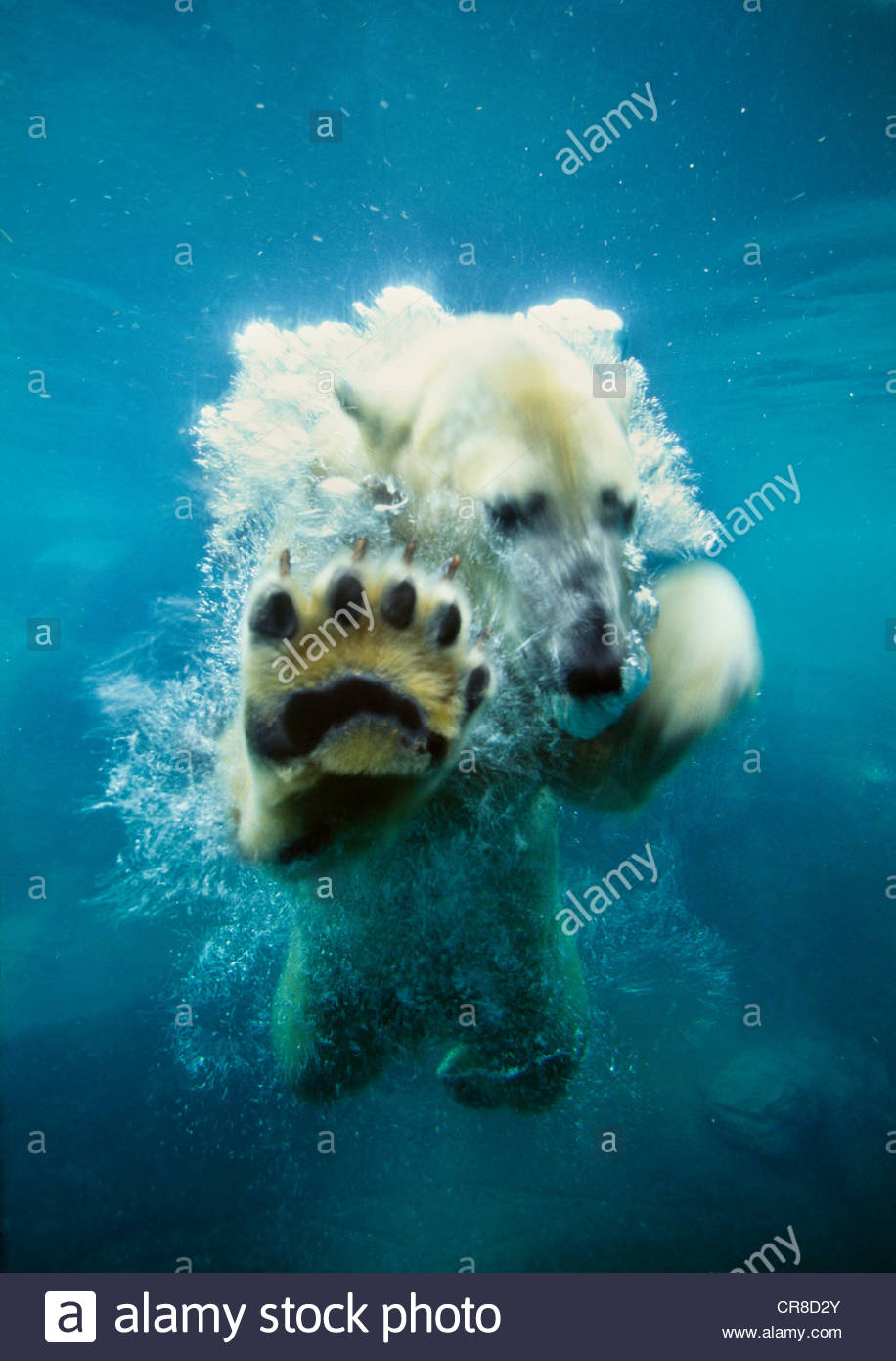 Polar bear playing in the water. (captive) - Stock Image
