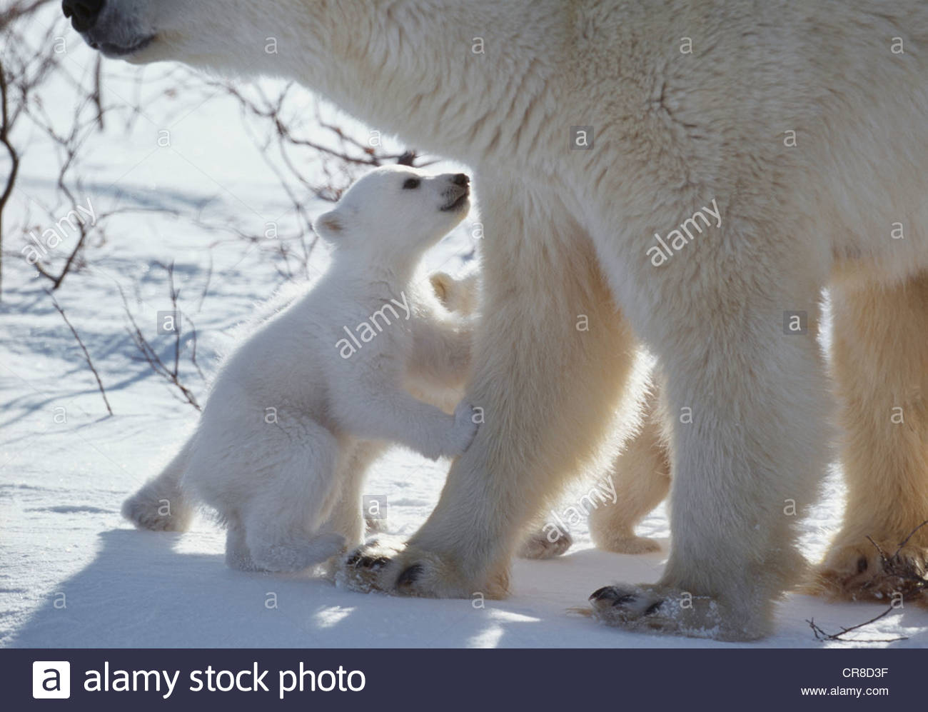 Polar bear cub begs from mother, Manitoba, Canada - Stock Image
