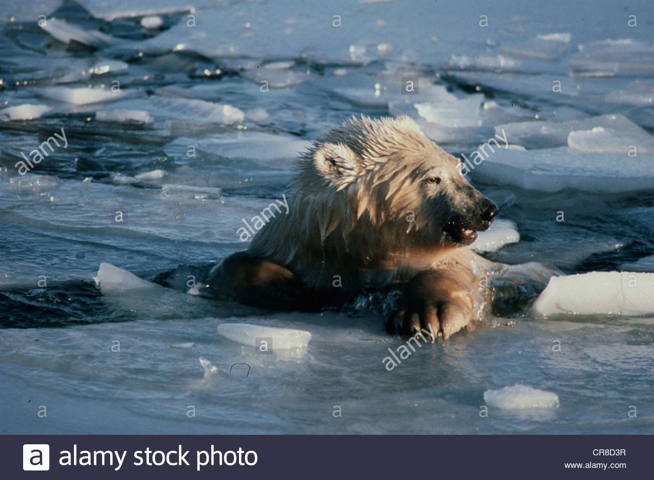 Polar bear emerges from a swim in icy waters. - Stock Image