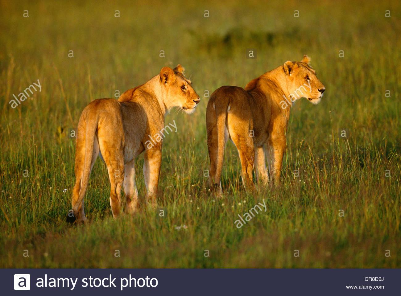 Pair of female lions, Masai Mara National Reserve, Kenya - Stock Image