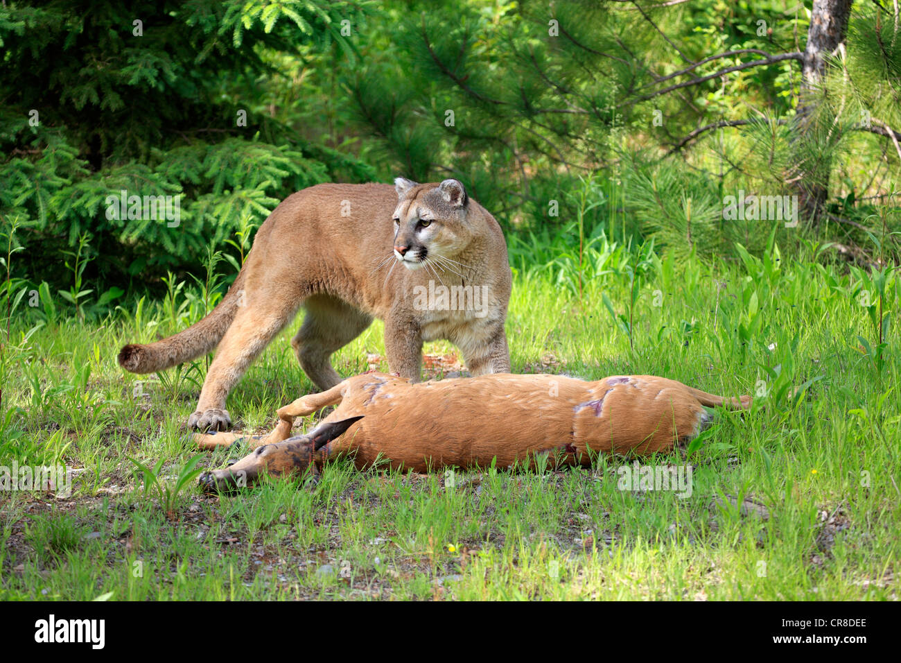 Cougar or Puma (Puma concolor, Felis concolor), adult with prey, Minnesota, USA - Stock Image