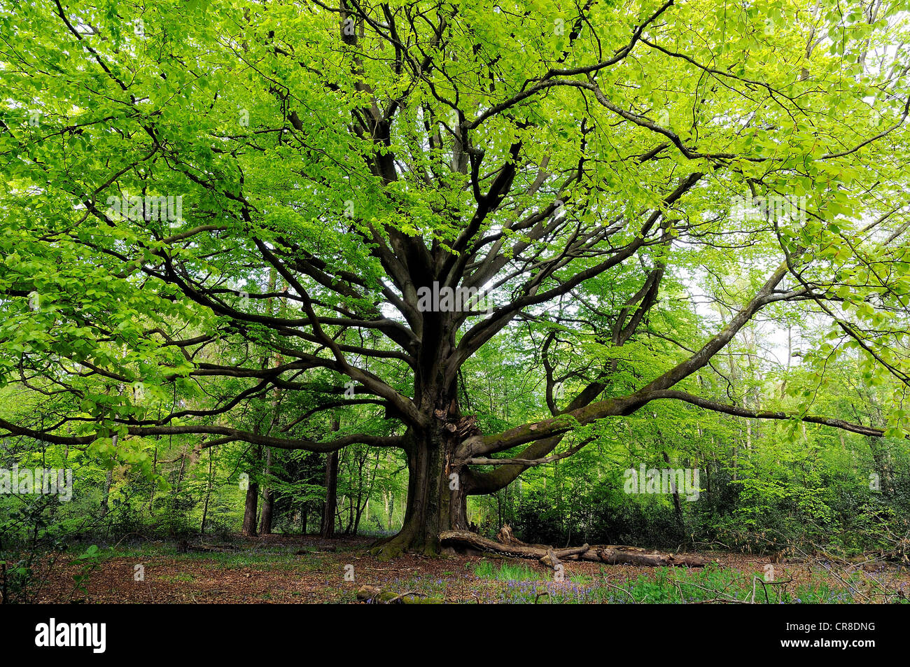 Beech tree in spring leaf in The Surrey Hills, near Dorking England UK - Stock Image