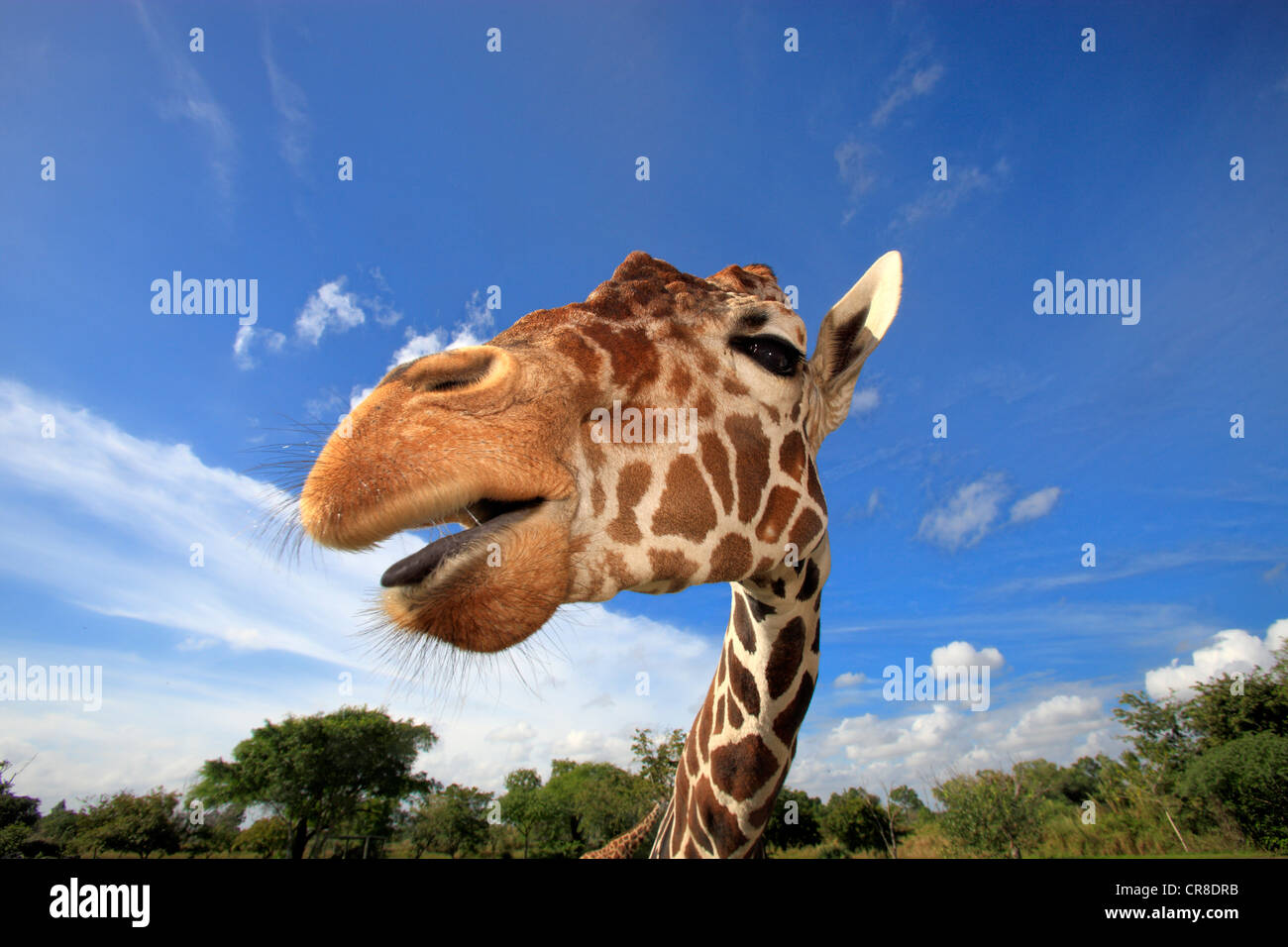 Reticulated Giraffe (Giraffa camelopardalis reticulata), adult, portrait, in captivity, Florida, USA Stock Photo
