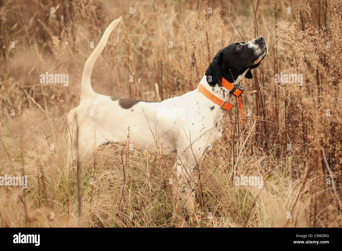 English pointer in tall brush - Stock Image