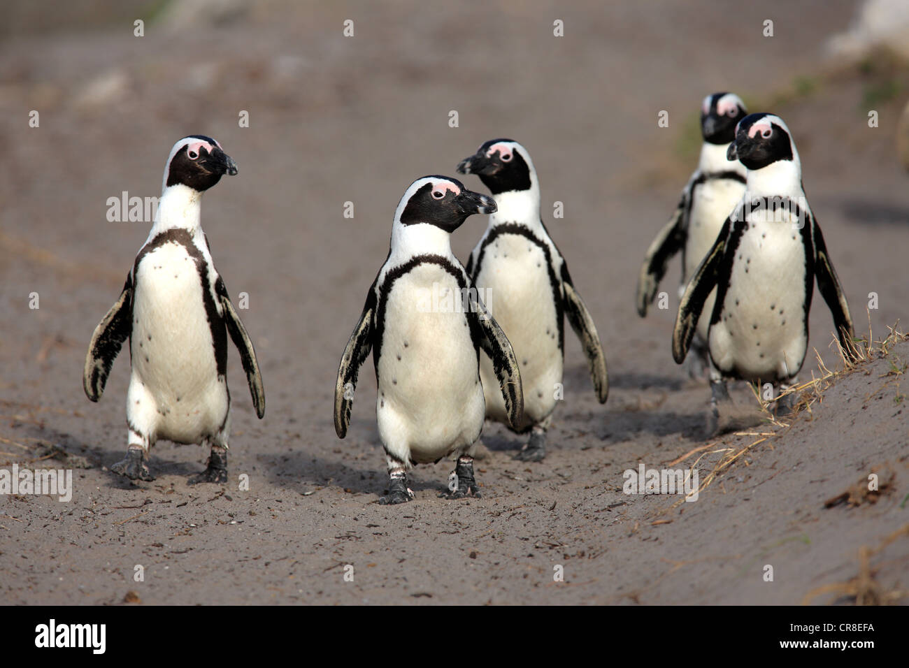 African Penguins, Black-footed Penguin or Jackass Penguin (Spheniscus demersus), group on the beach, Betty's Bay, Stock Photo