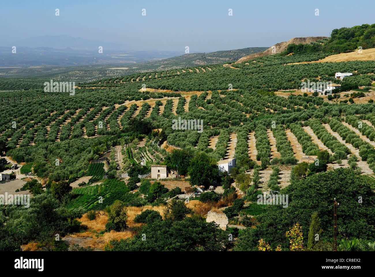 Spain, Andalusia, province of Jaen, Ubeda, city UNESCO World Heritage, olive trees field - Stock Image