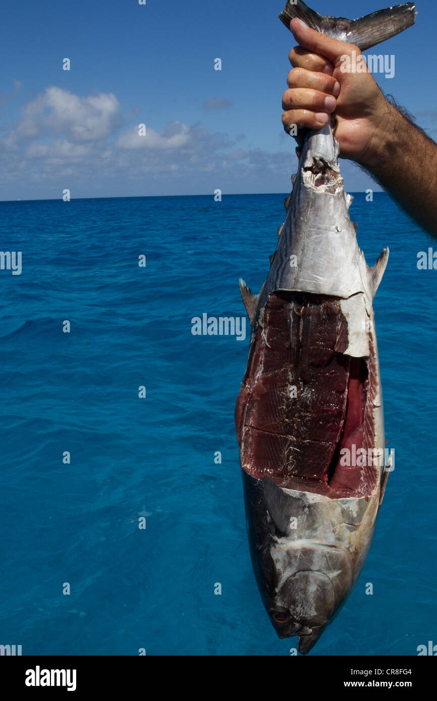 Mutilated Fish Used for Chum - Stock Image