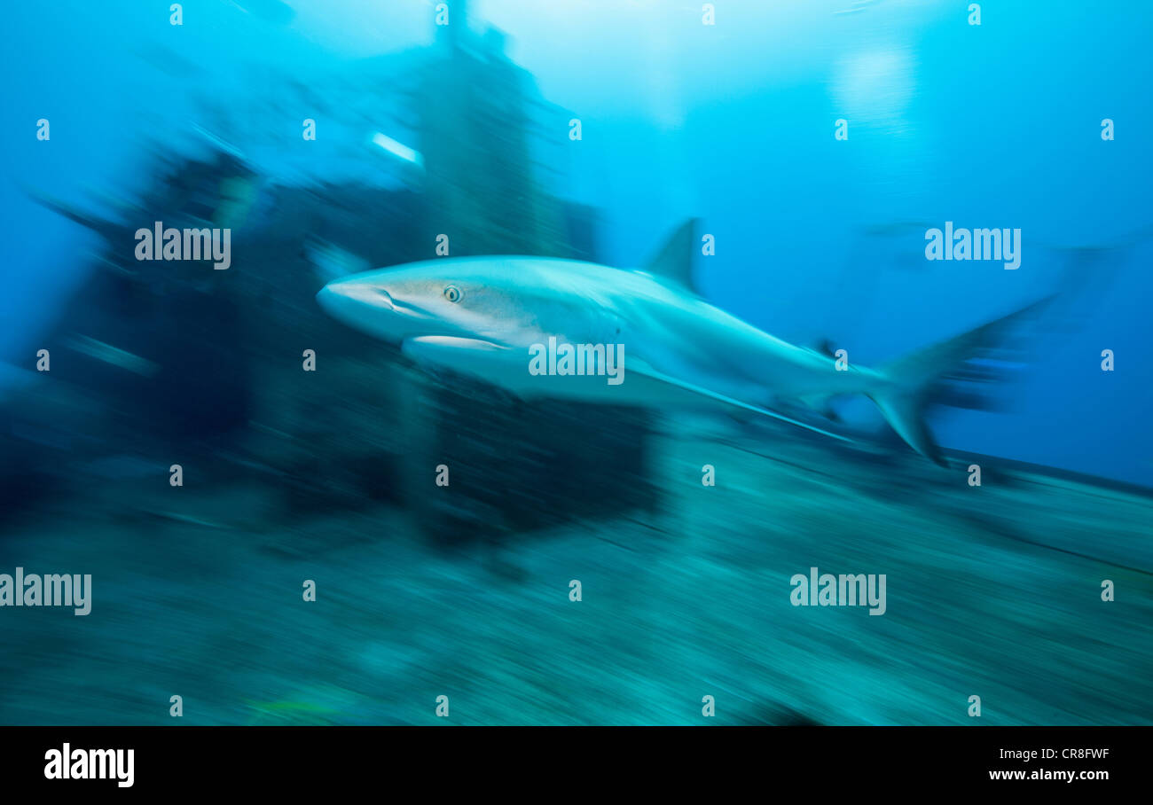 Caribbean Reef Shark and Wreck - Stock Image