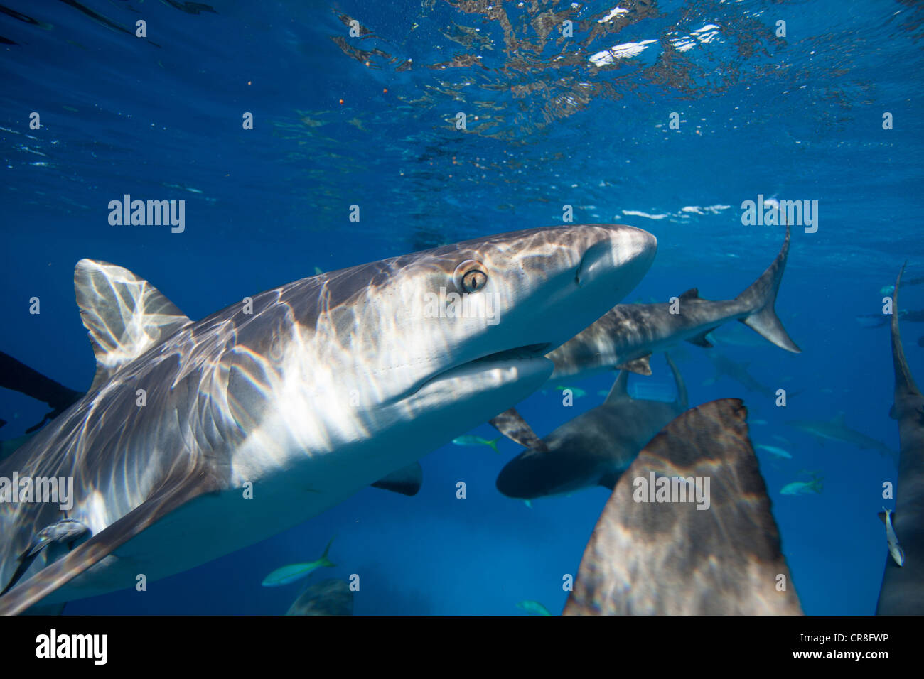 Closeup of Caribbean Reef Shark - Stock Image