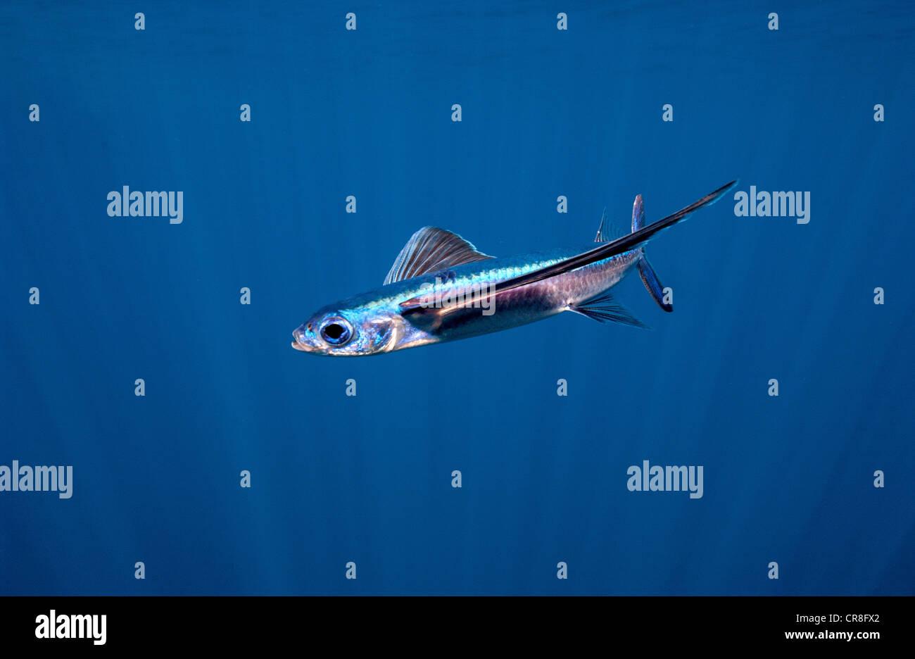 Flying Fish, Open Ocean - Stock Image