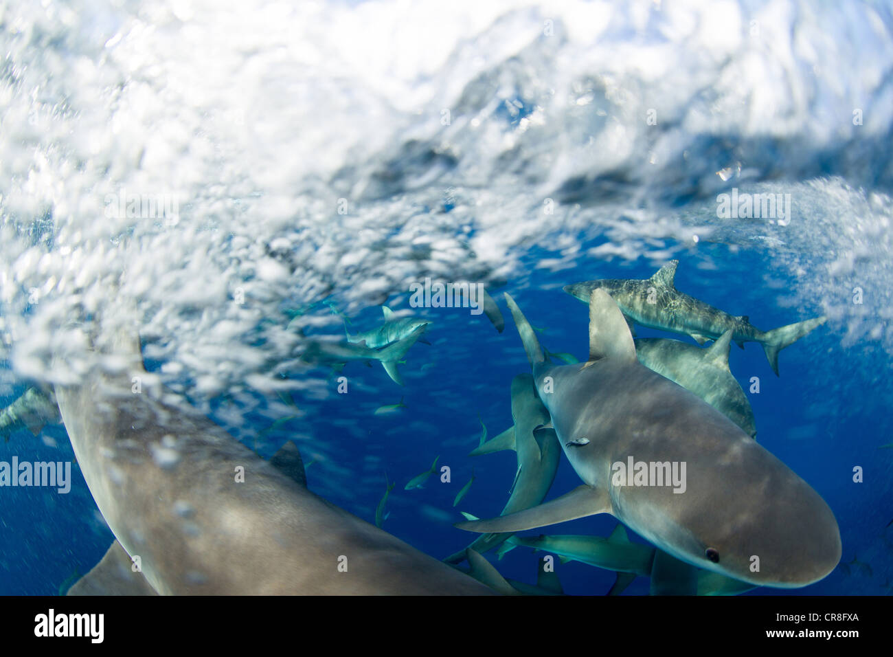 Frenzy of Caribbean Reef Sharks - Stock Image