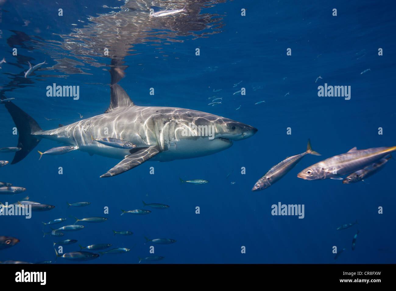 Great White Shark, Mexico. Stock Photo