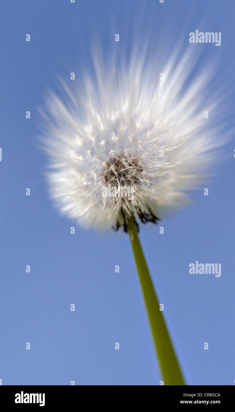 Close up of dandelion clock Stock Photo
