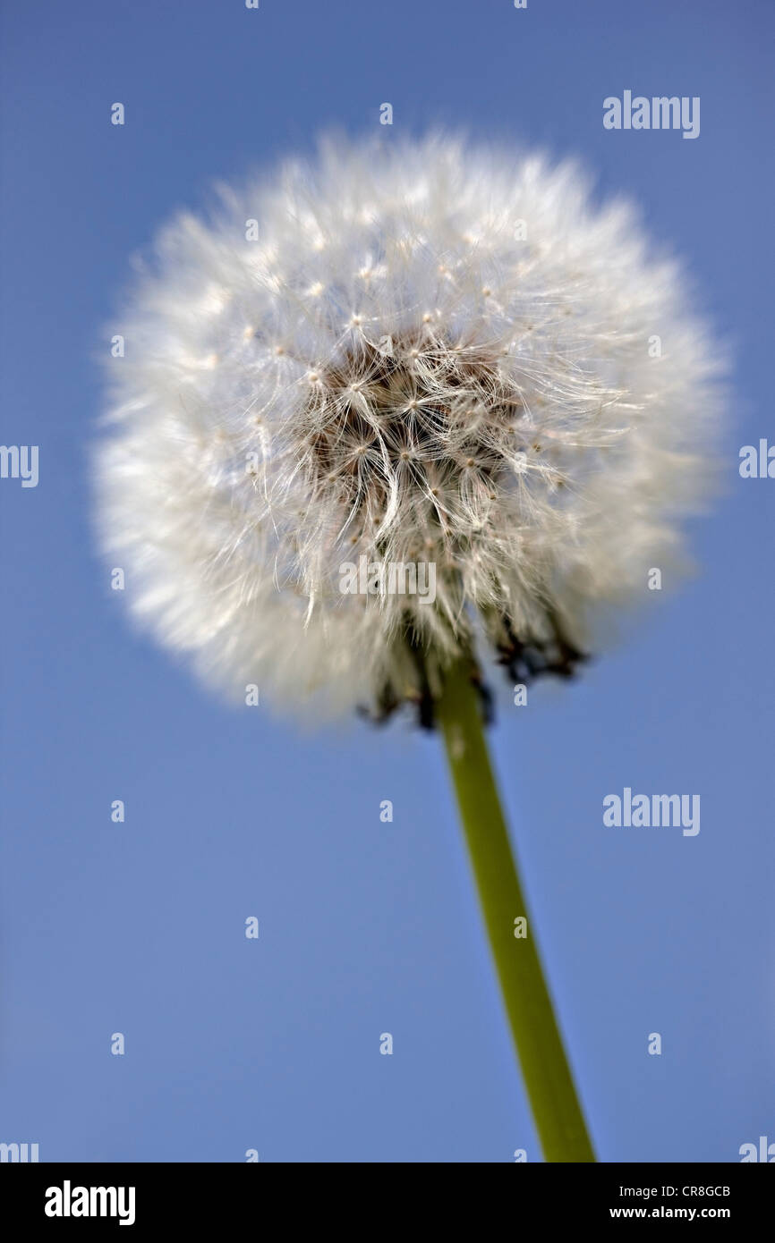 Close up of dandelion clock Stock Photo