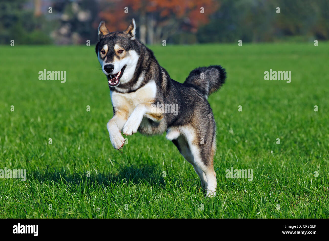 Running young Siberian Husky dog (Canis lupus familiaris) male, domestic dog - Stock Image