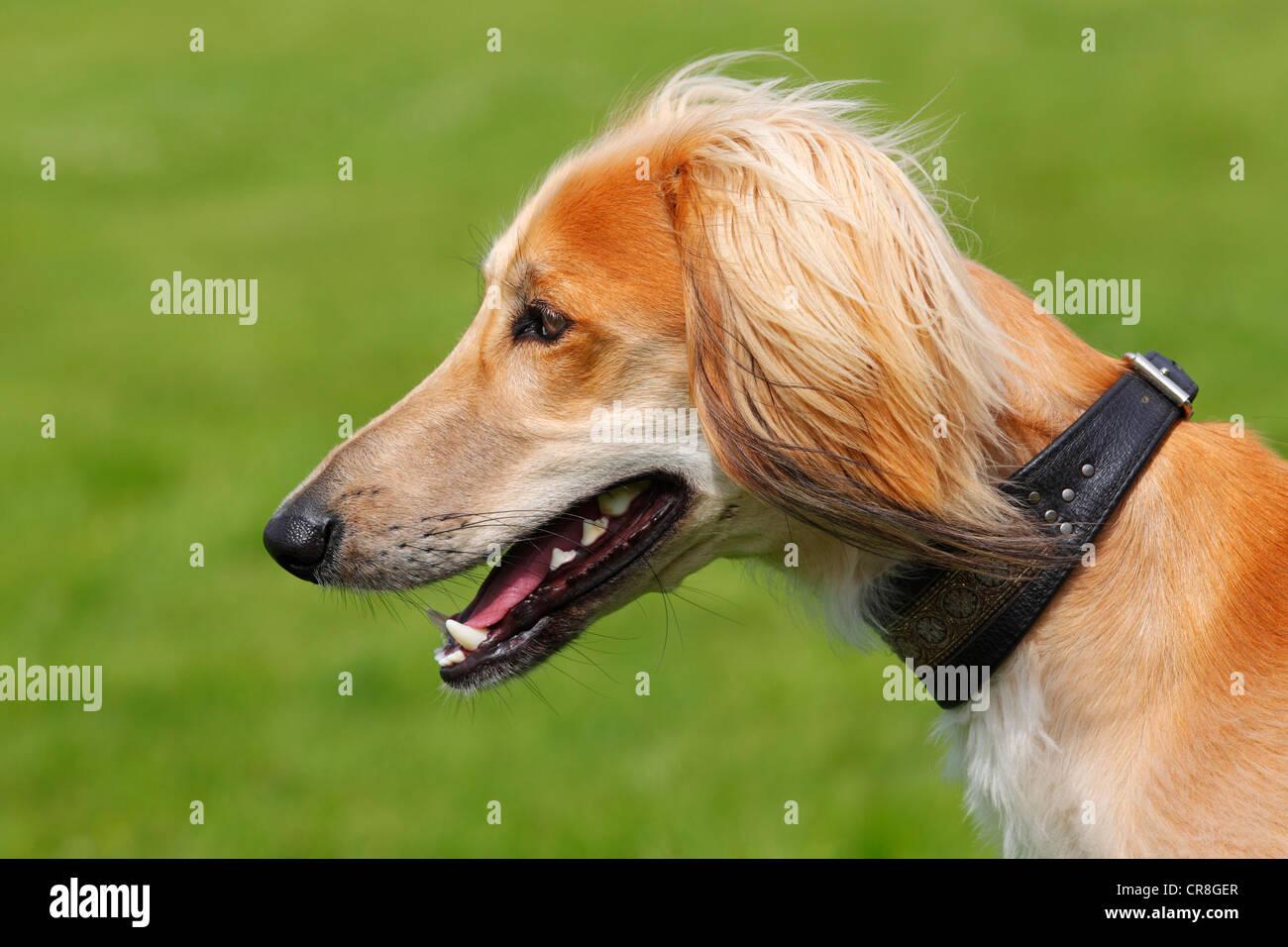 Young male Saluki, Persian Greyhound, Royal Dog of Egypt, dog (Canis lupus familiaris) sighthound breed, domestic Stock Photo