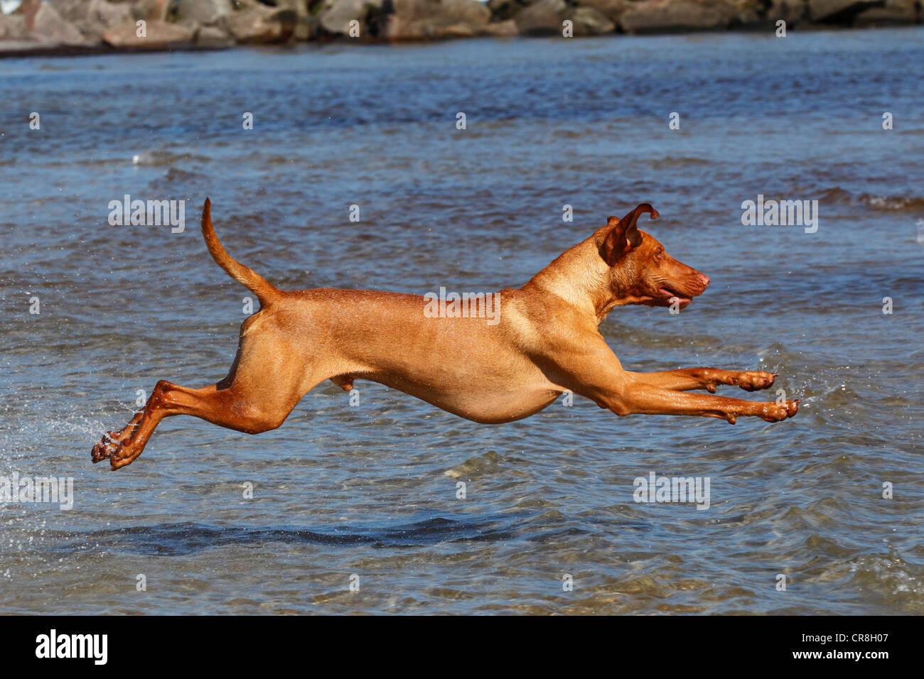 Magyar Vizsla, Hungarian Vizsla, or Hungarian Pointer, male dog (Canis lupus familiaris) running into the water - Stock Image