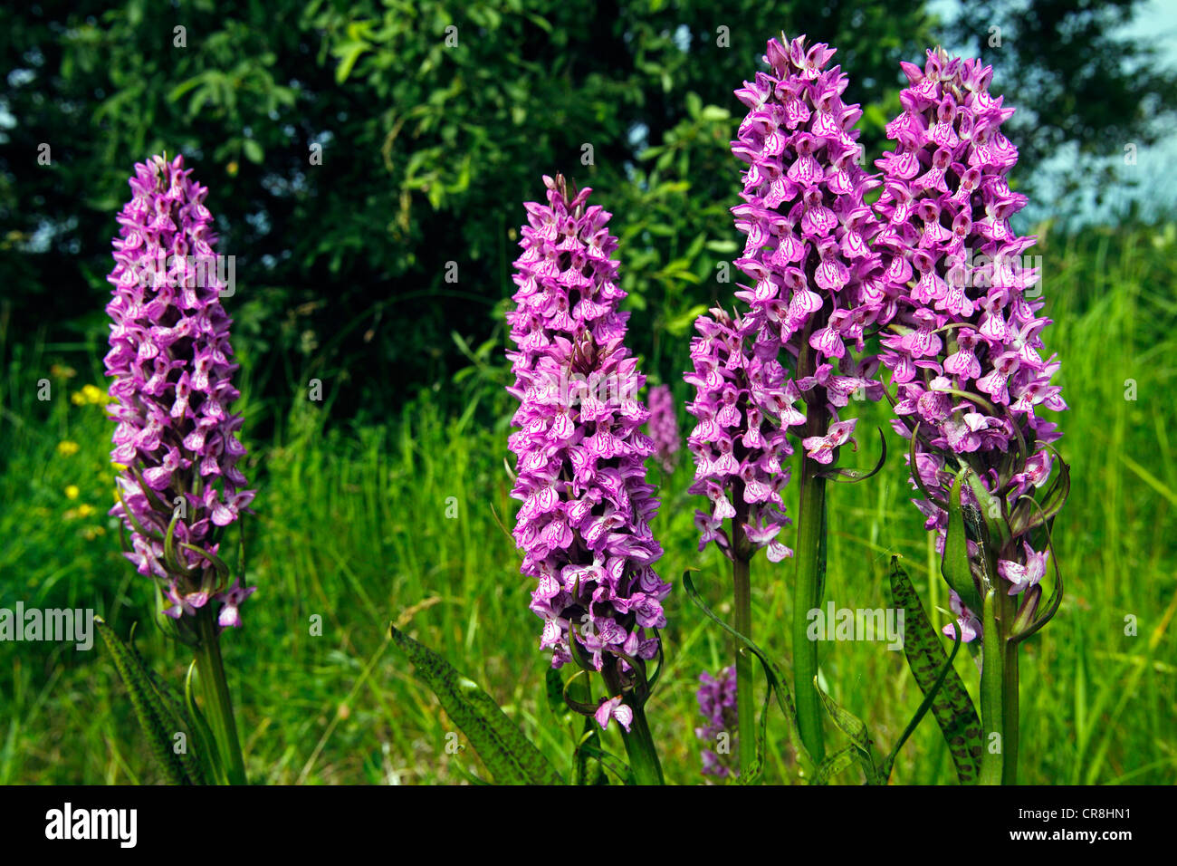 Flowering Southern Marsh Orchid or Leopard Marsh Orchid (Dactylorhiza praetermissa var. junialis) - Stock Image