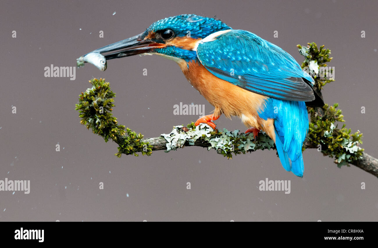 male kingfisher sitting on a twig with a fish looking left - Stock Image