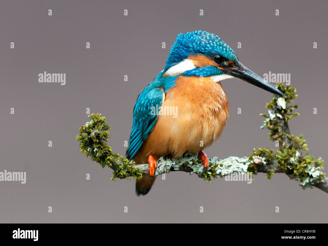male kingfisher sitting on a twig looking right - Stock Image