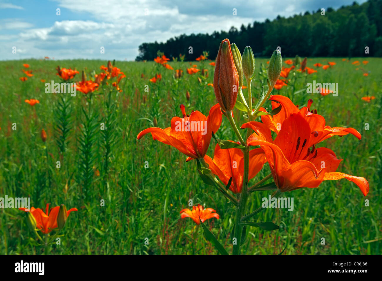Flowering Orange Lilies or Fire Lilies (Lilium bulbiferum) along the field lily path of Govelin, Goehrde, Wendland - Stock Image