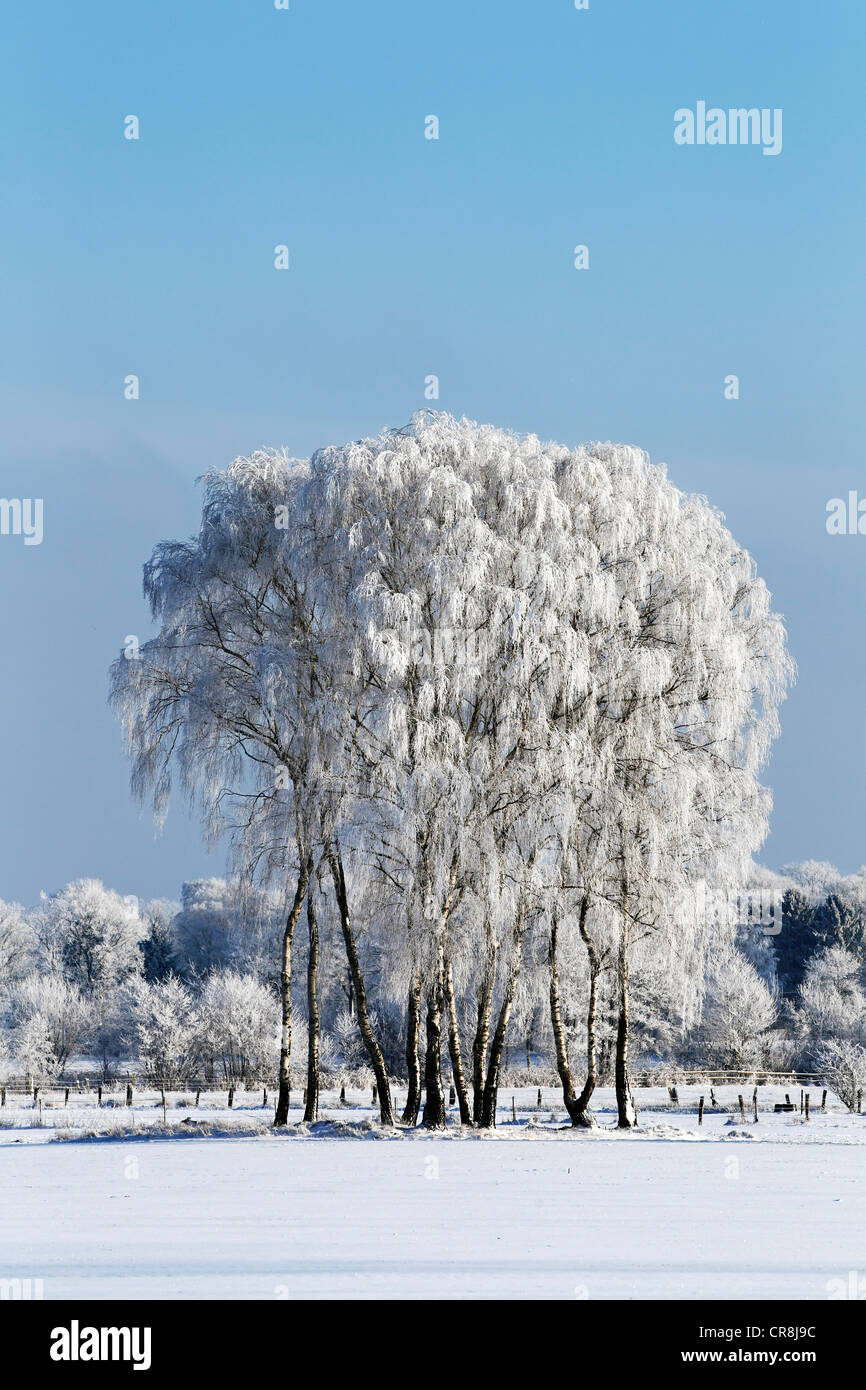 Frost-covered birch trees in a snow-covered landscape in winter, Schleswig-Holstein, Germany, Europe Stock Photo