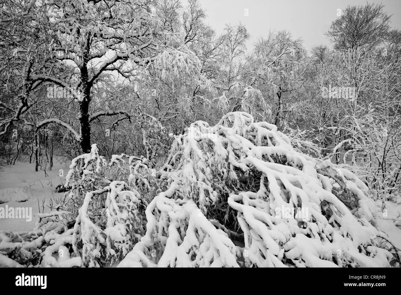 Snow covered trees in the Romsdalen valley, Rauma kommune, Møre og Romsdal,, Norway. - Stock Image