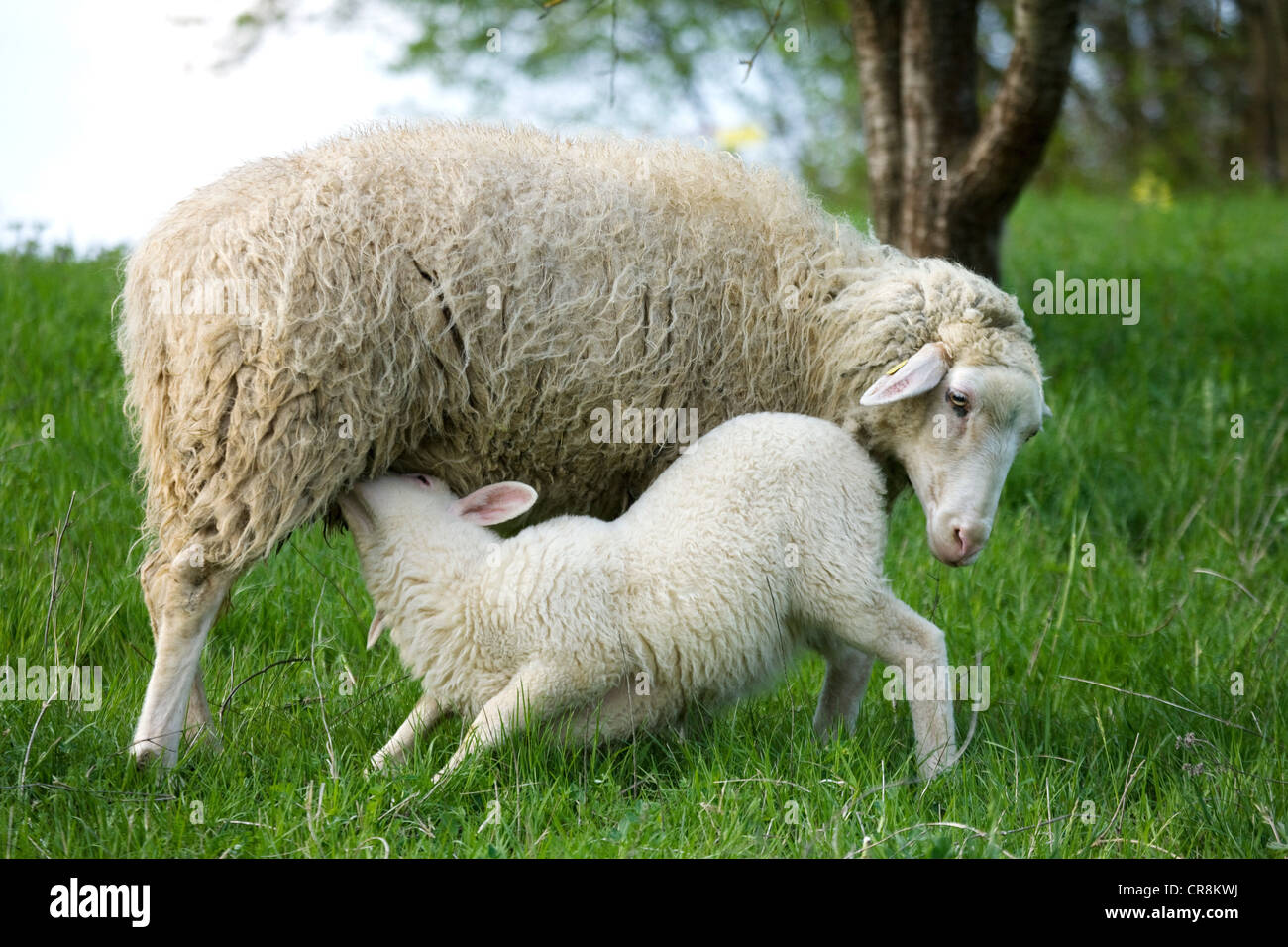 Lamb suckling from ewe - Stock Image