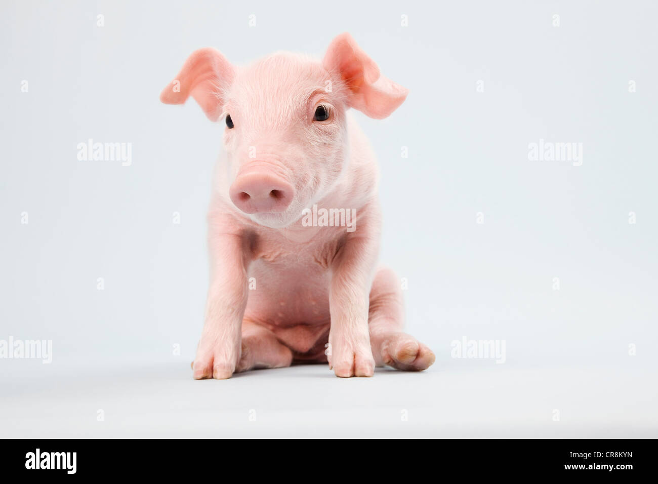 Cute piglet, studio shot - Stock Image