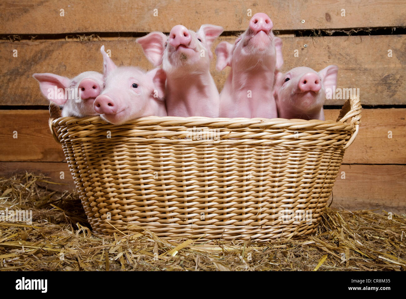 Five piglets in basket - Stock Image