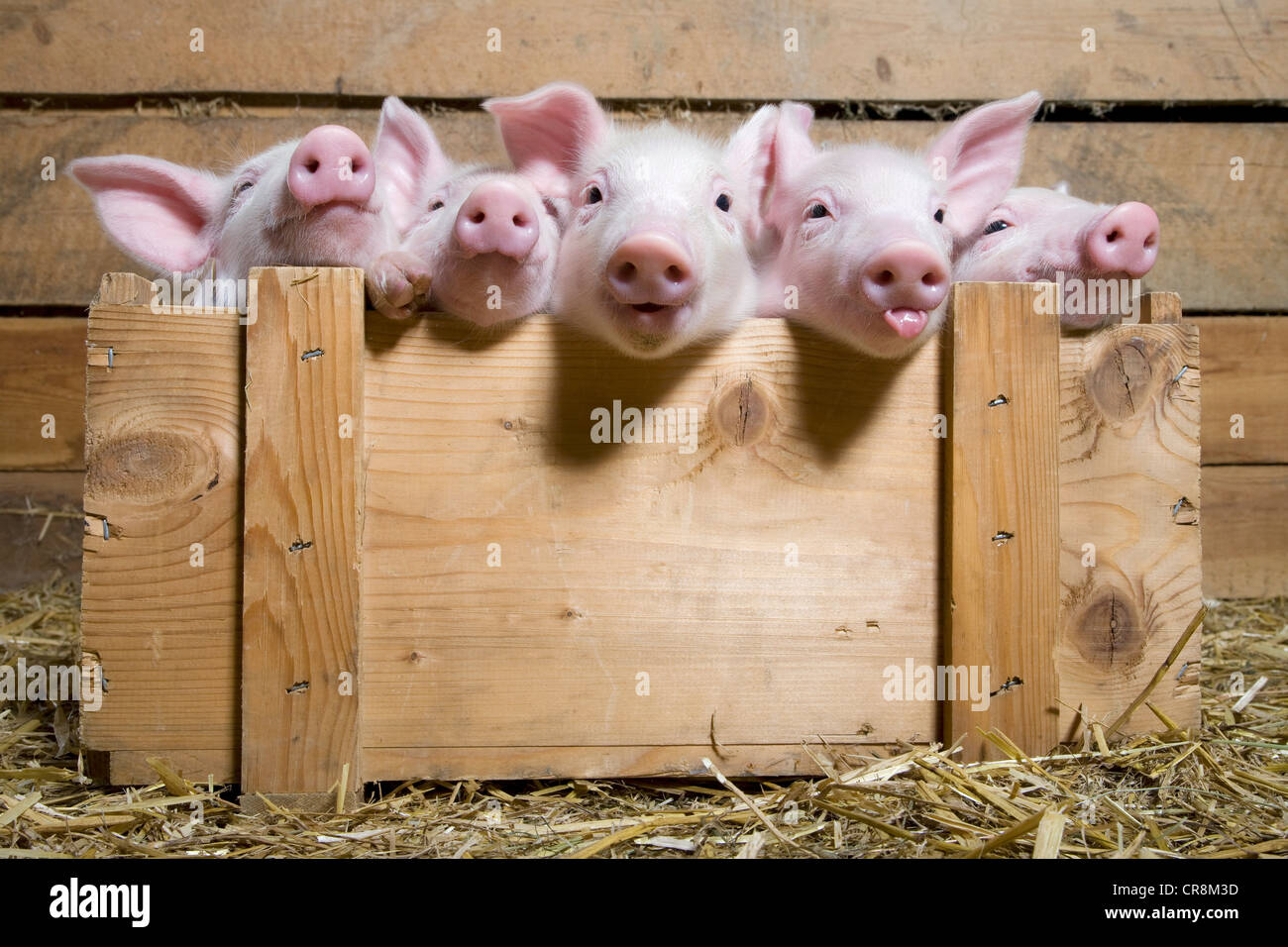 Five piglets in wooden crate - Stock Image