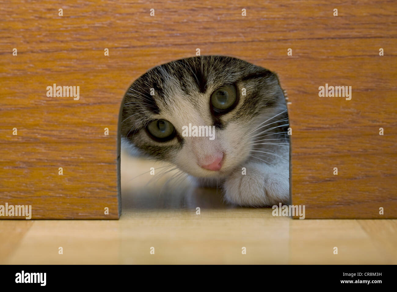 Cat peeking through mouse hole - Stock Image