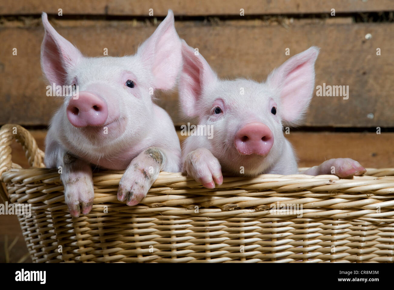 Two piglets in basket, close up - Stock Image