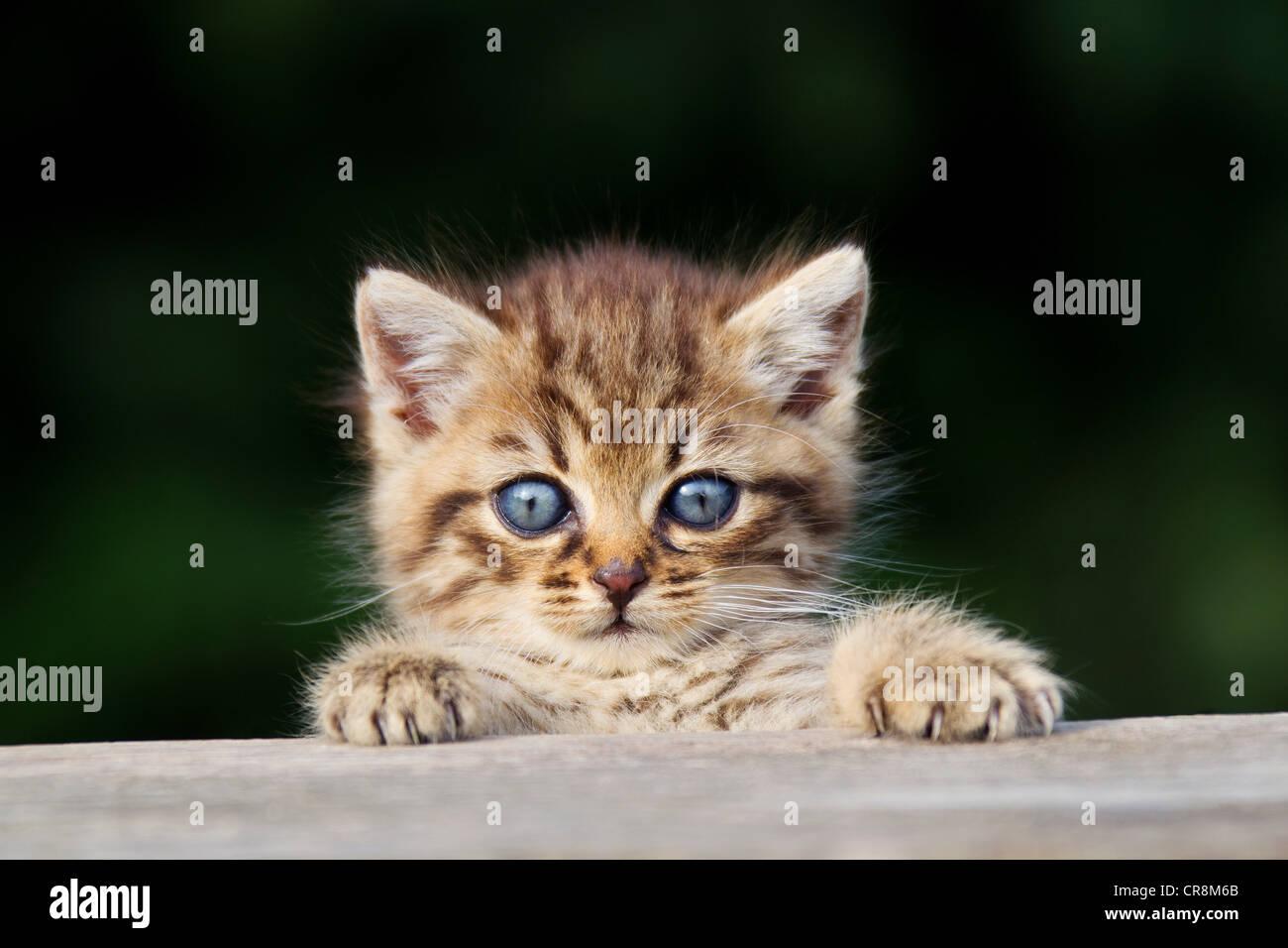 Kitten peeking over fence Stock Photo