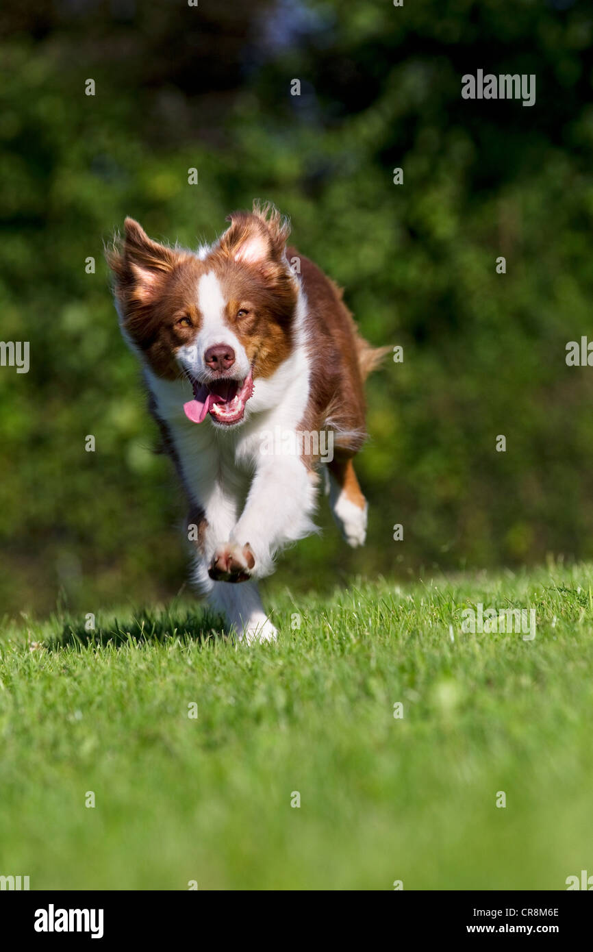 Dog running on grass - Stock Image