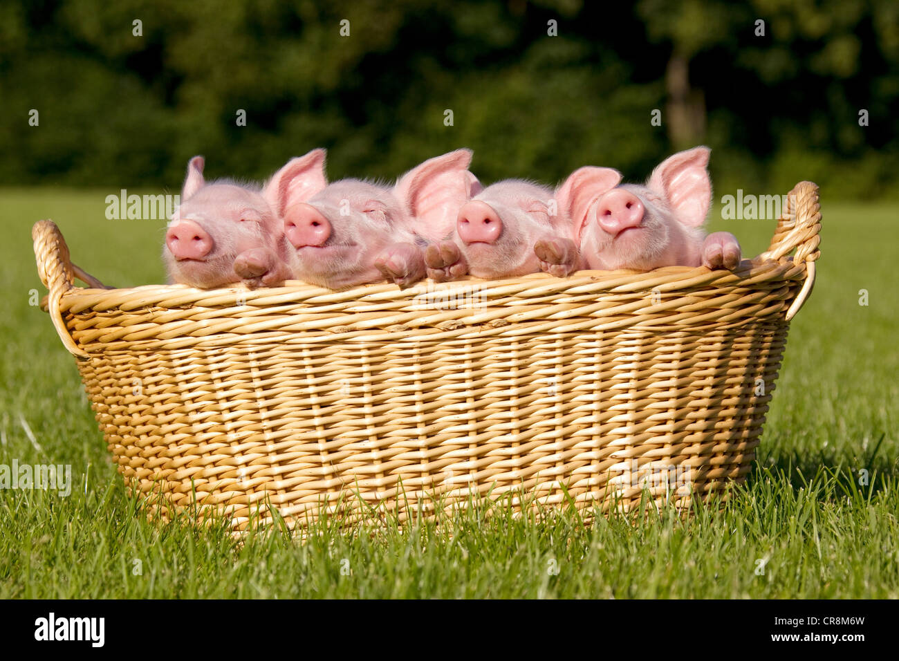 Four piglets in basket - Stock Image