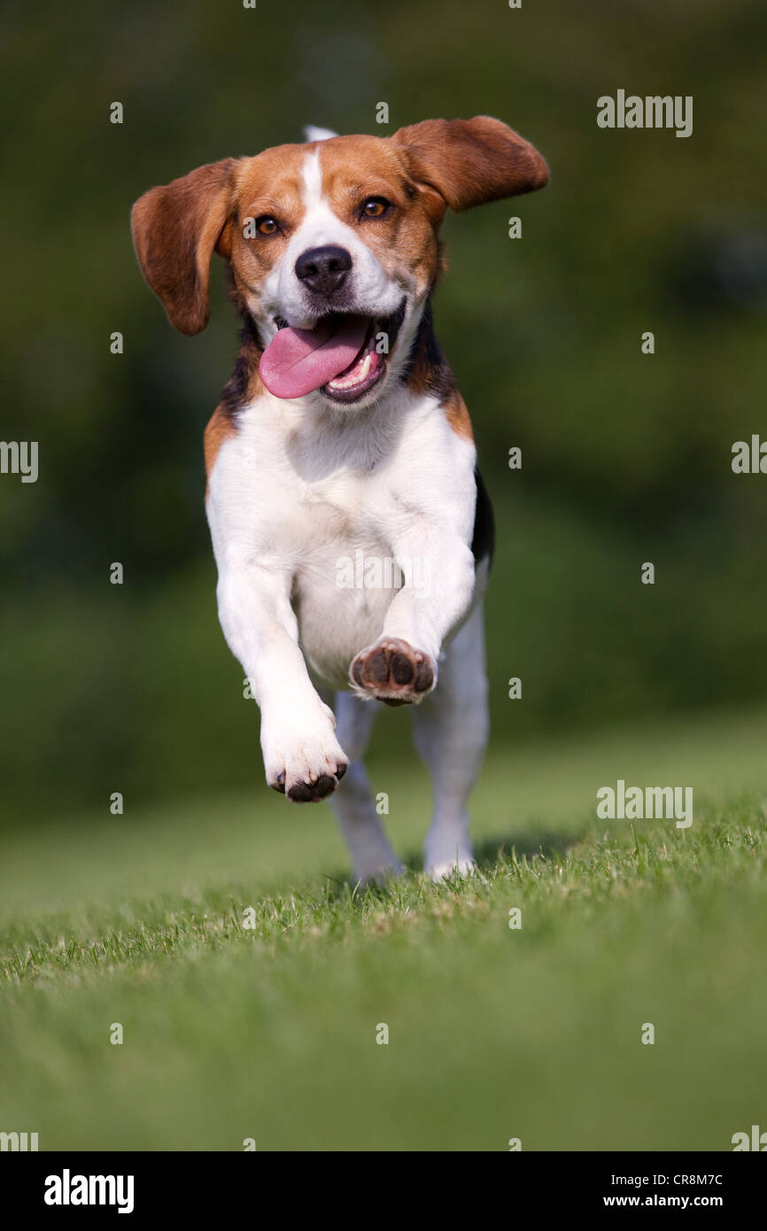 Dog running on grass with tongue out - Stock Image