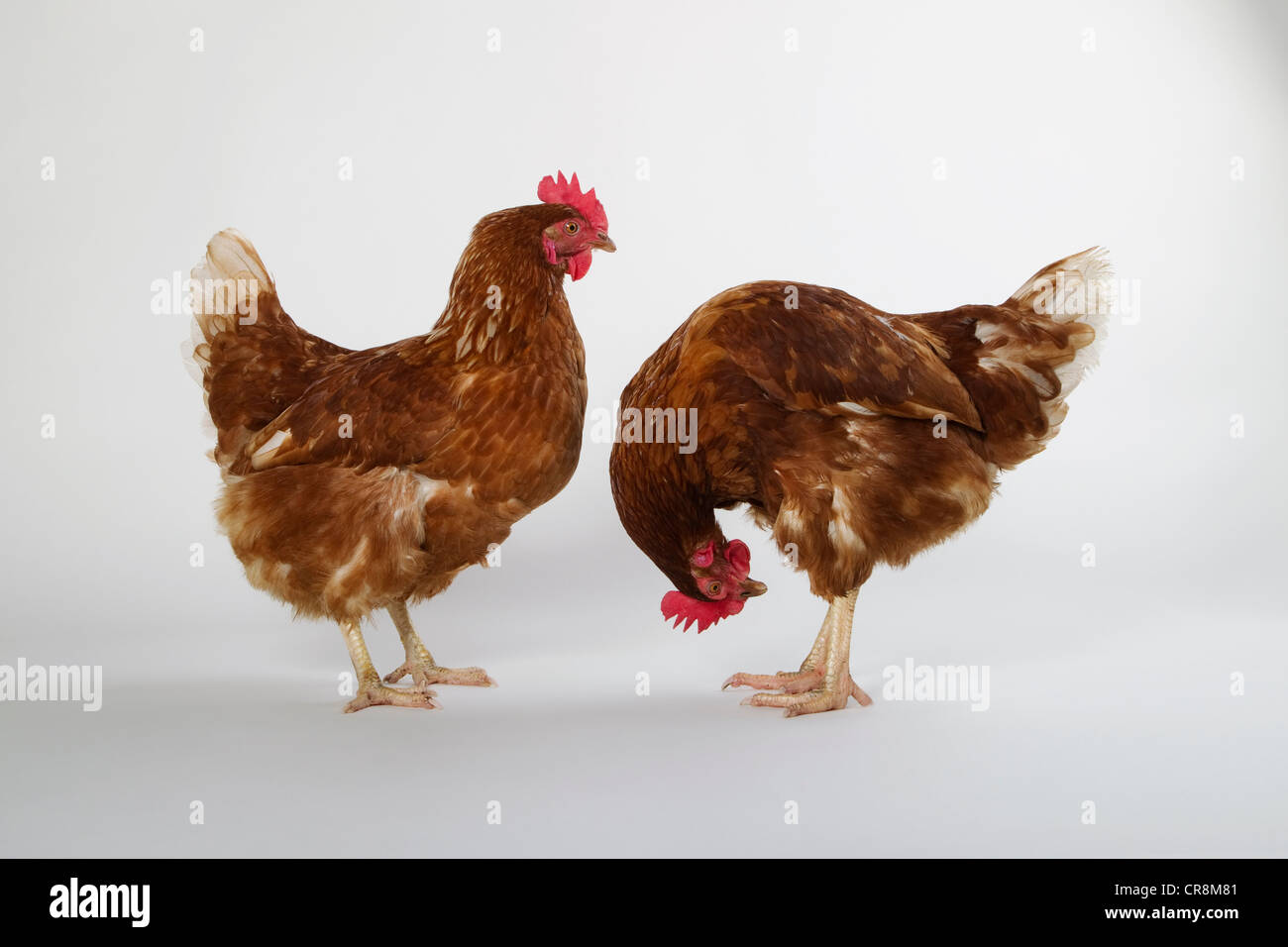 Two hens, studio shot - Stock Image