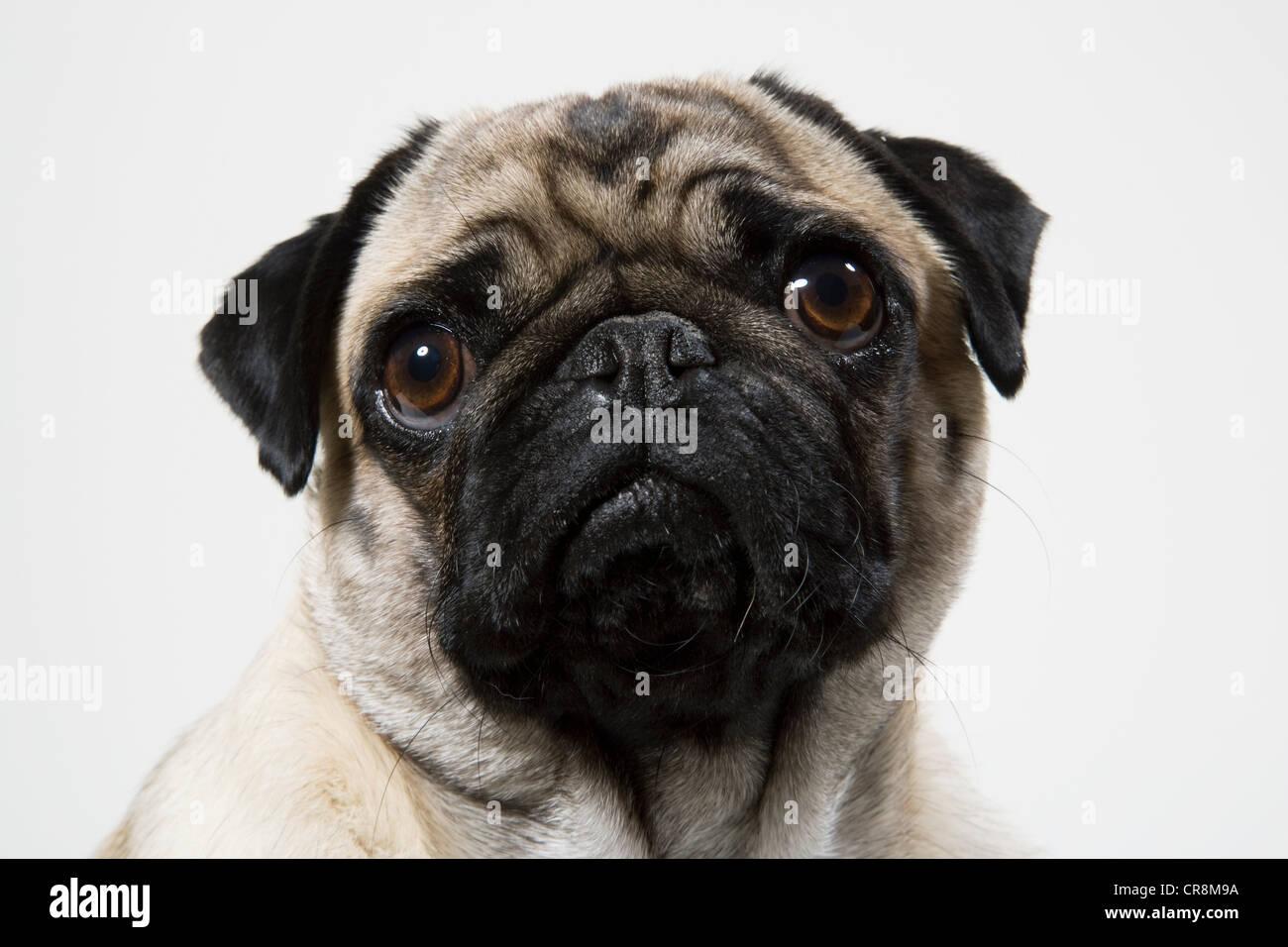 Pug dog close up, portrait - Stock Image