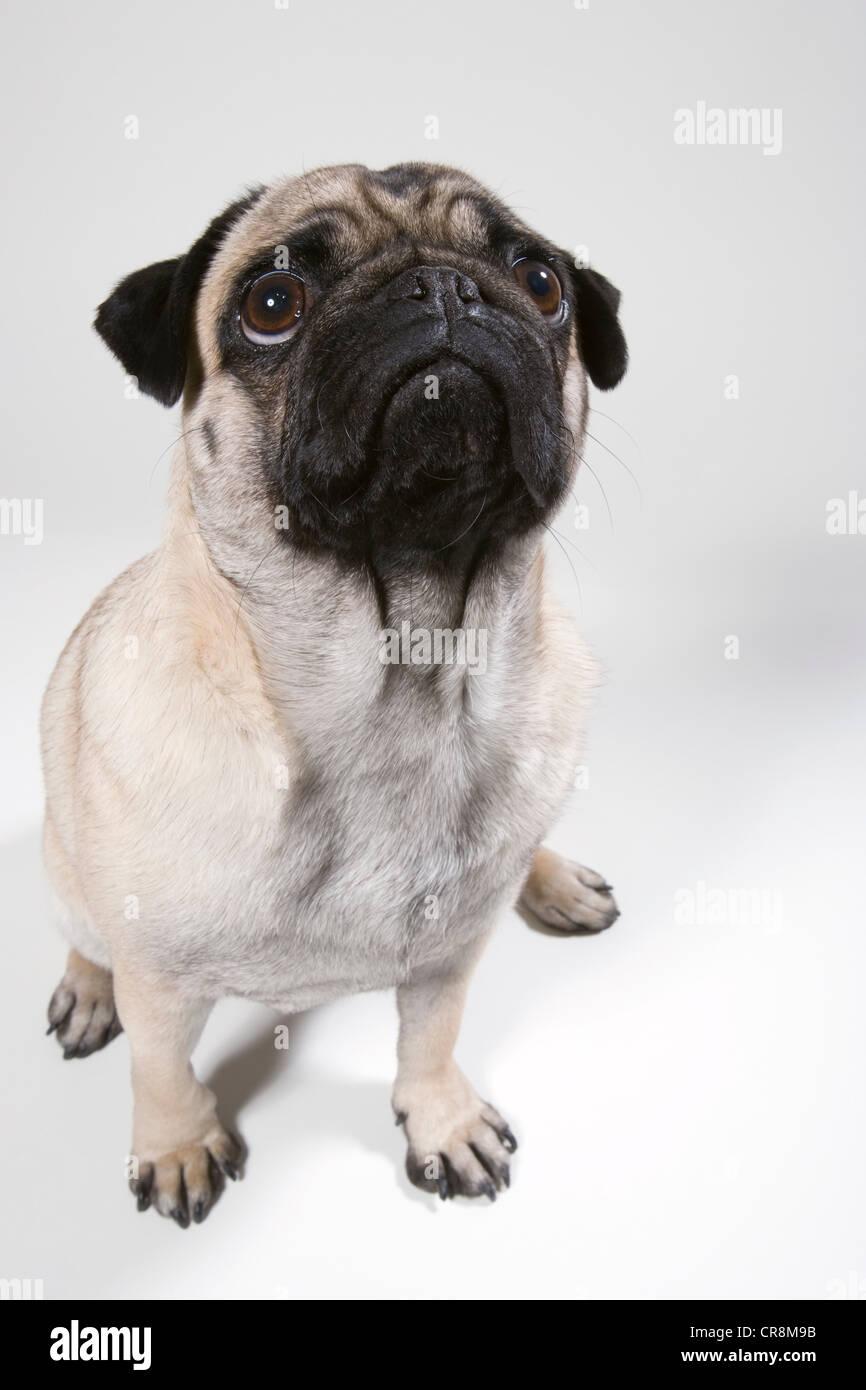 Pug dog, portrait - Stock Image