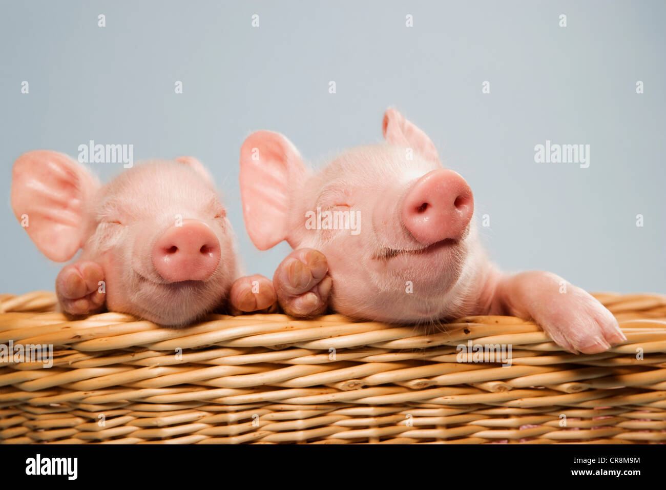 Two piglets in basket - Stock Image
